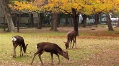 东京-富士山-京都-奈良-大阪6日游>本州富士山GRINPA雪乐园、京都金阁寺、奈良神鹿公园、茶道体验、双古都六日游